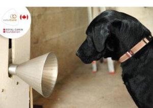 Cães em treinamento para detecção precoce de câncer de mama.